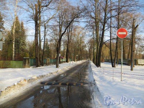 Перспектива 1-й Березовой аллеи от Большой аллеи в сторону Каменноостровского проспекта.Фото 11 февраля 2015 года.