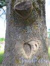 Копорская крепость, Дерево с Сердцем. фото июль 2015 г