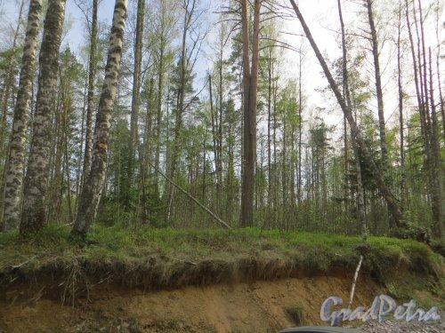 Ленинградская обл., СНТ «Керро-2», ДНП «Приозёрное». Сохранённый участок леса. Фото 12 мая 2015 года.