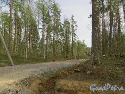 Ленинградская обл., СНТ «Керро-2», ДНП «Приозёрное». Лес вдоль грунтовой дороги. Фото 12 мая 2015 года.