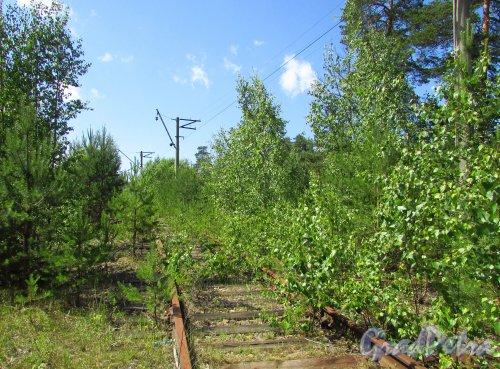 Сохранившиеся железнодорожные пути у ж/д станции «Краснофлотск». Фото 20 июня 2016 года.
