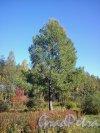 Сосновский лесопарк. У Собачьего озера. Фото сентябрь 2012 г.