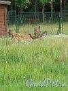 Верхний парк (Ораниенбаум). Мини-зверинец. Вольеры с оленями. фото август 2015 г.