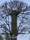 Екатерининский парк (Пушкин). Регулярный парк. Декоративная стрижка деревьев. фото июнь 2017 г