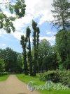 Парк Каменноостровского дворца. Центральная Аллея летом. фото июль 2017 г.