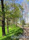 Екатерининский парк (Пушкин), Аллея парка вдоль Продольного пруда. фото май 2018 г.