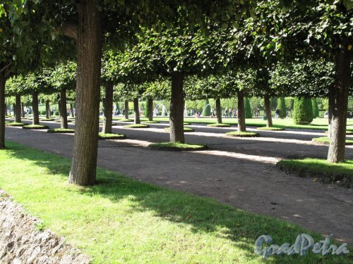 Верхний парк (Петергоф). Липовая аллея. Фото август 2011 г