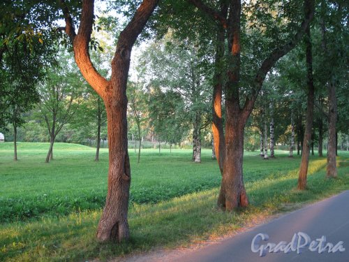 Муринский гидропарк. Фрагмент аллеи во время заката. фото июль 2014 г.