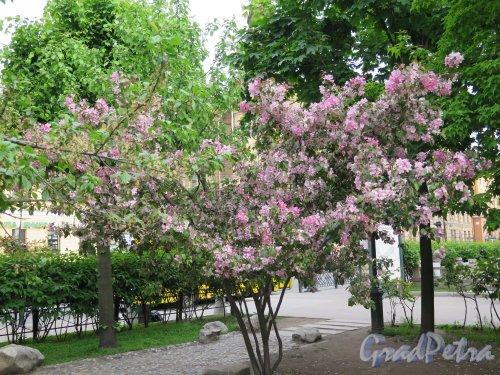 Сквер Дружбы. Сакура в период цветения. фото май 2015 г.