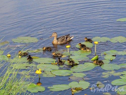 Муринский парк. Утки на пруду. Фото июль 2015 г.