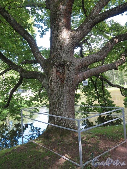Верхний парк (Ораниенбаум). Китайский пруд. Старинный дуб у пруда. фото август 2015 г