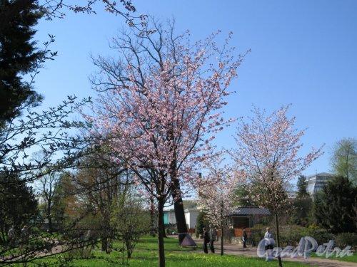 Ботанический сад. Аллея Сакур. фото мвй 2016 г.