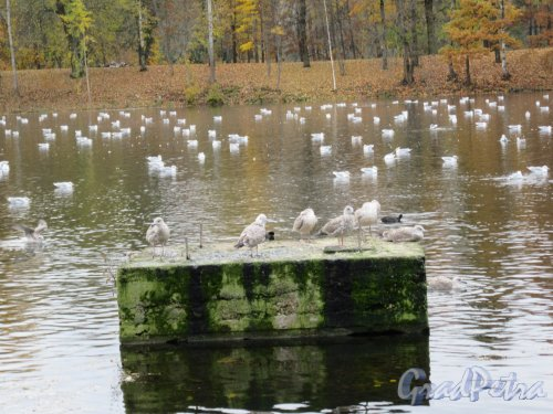 Гатчинский парк (Дворцовый). Белое озеро. Чайки. фото октябрь 2017 г.