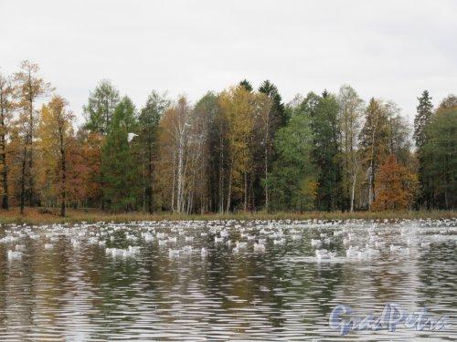 Гатчинский парк (Дворцовый). Белое озеро. Чайки перед осенним перелетом. фото октябрь 2017 г.