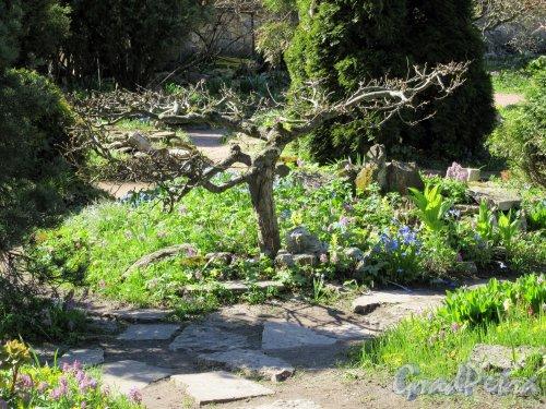 Ботанический сад, Сухое дерево на клумбе. фото май 2018 г.