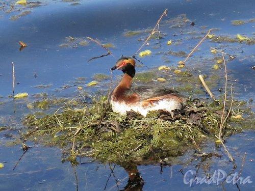 Екатерининский парк (Пушкин). Большой пруд. Утиное гнездо на пруду. фото май 2018 г.
