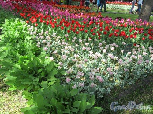 ЦПКиО. VI фестиваль тюльпанов в 2018 г. Цветник «Шехерезада». фото май 2018 г.