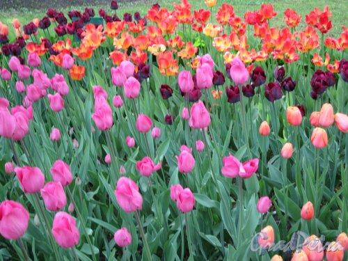 ЦПКиО. VI фестиваль тюльпанов в 2018 г. Вид цветника. фото май 2018 г.