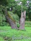 Ораниенбаумское шоссе, 2, лит. Ч. Усадьба Сергиевка. Деревья в парке. фото июль 2015 г.