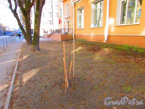 Малая Разночинная улица, дом 2-4, литера А. Дерево Победы. Фото 1 мая 2016 года.