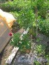 Лен. обл., Гатчинский р-н, пос. Сусанино, Пушкинская ул., дом 9. Цветы на участке. Фото 5 июня 2013 г.
